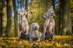 "GCh., JCh., Ch. Almost Heaven of Diam Weim "" U"""