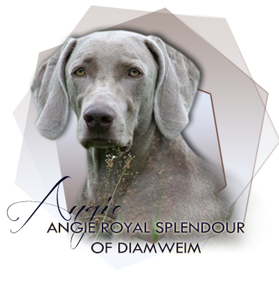 Výmarský ohař Angie Royal Splendour of DiamWeim