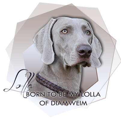 Výmarský ohař Born to Be My Lolla of Diam Weim